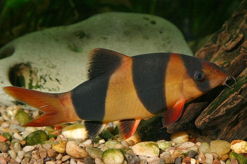 出典:https://commons.wikimedia.org/wiki/File:Chromobotia_macracanthus.jpg