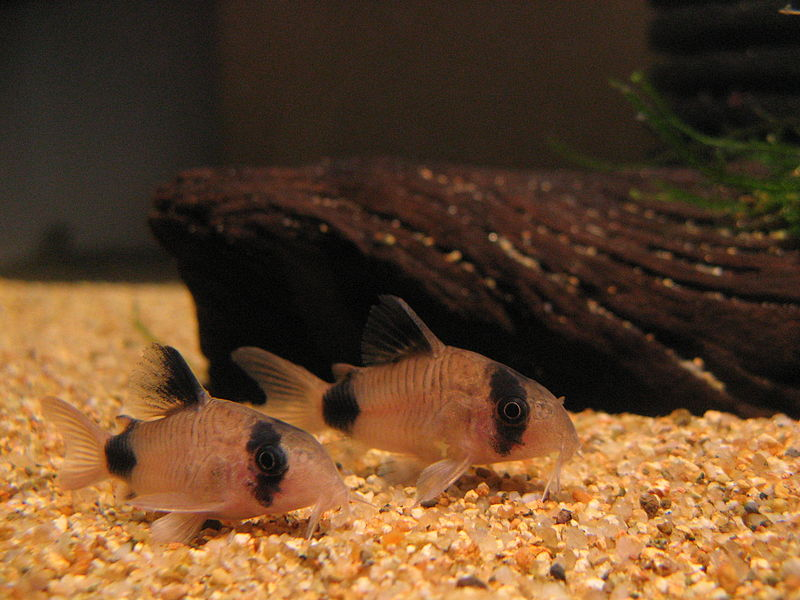 出典:https://commons.wikimedia.org/wiki/File:Corydoras_panda.JPG