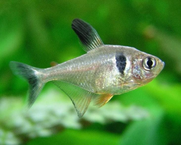 出典:https://commons.wikimedia.org/wiki/File:Hyphessobrycon_megalopterus.jpg