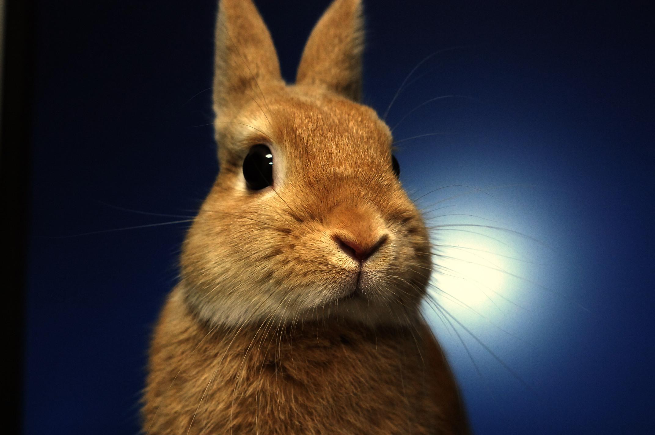 出典:https://commons.wikimedia.org/wiki/File:Netherlands_dwarf_rabbit.jpg?uselang=ja