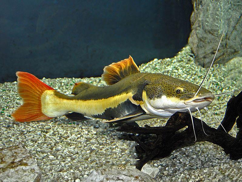 出典:https://commons.wikimedia.org/wiki/File:Pimelodidae_-_Phractocephalus_hemioliopterus.JPG