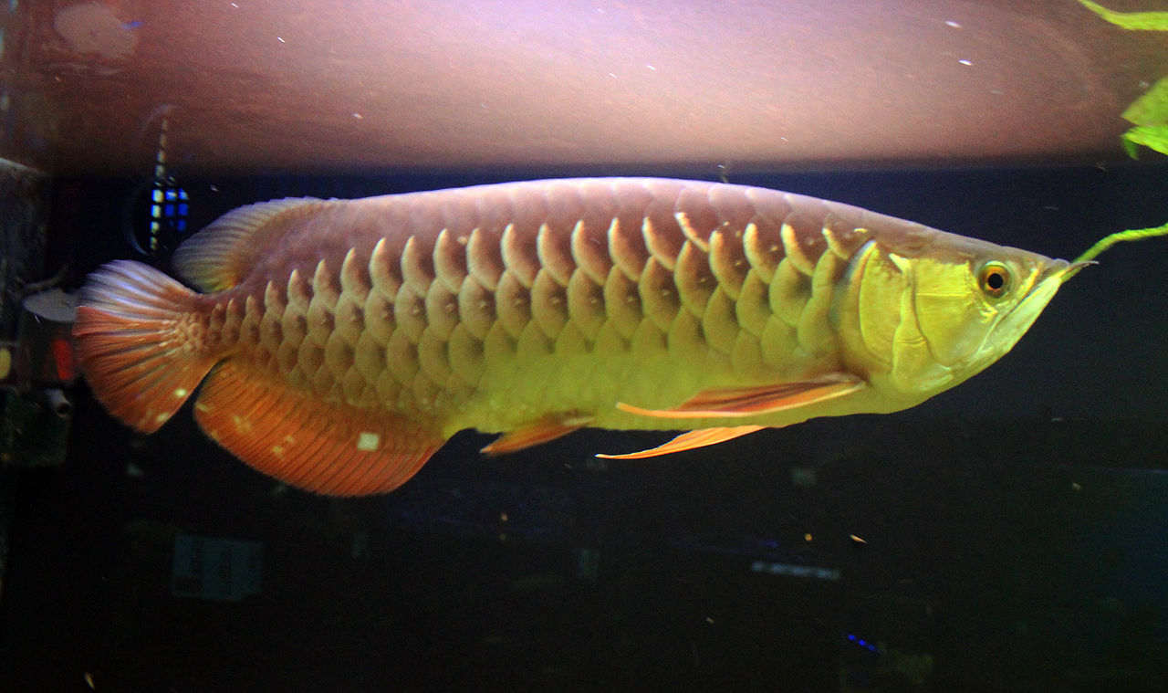 出典:https://commons.wikimedia.org/wiki/Arowana#/media/File:Scleropages_formosus_Prague_2012_1.jpg