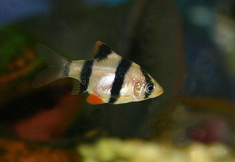 出典:https://commons.wikimedia.org/wiki/File:Tigerbarbe_Puntius_tetrazona.jpg