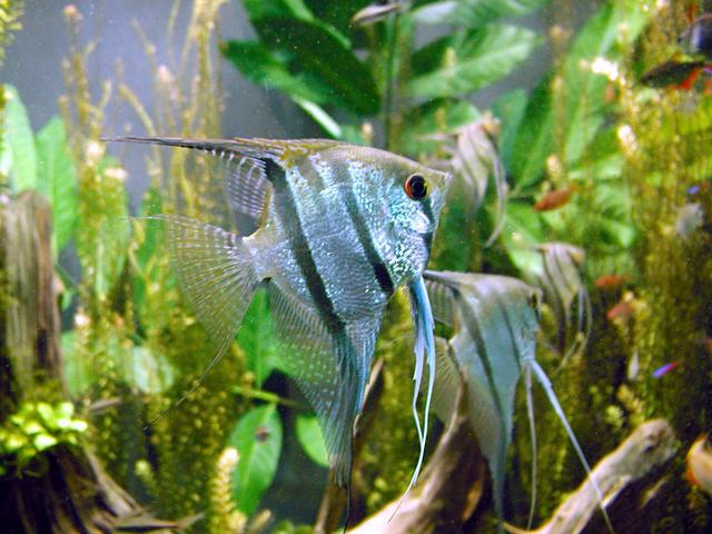 出典:https://commons.wikimedia.org/wiki/File:Freshwater_angelfish_biodome.jpg