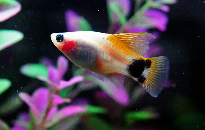 出典:https://commons.wikimedia.org/wiki/File:Gold_crescent_platy.JPG
