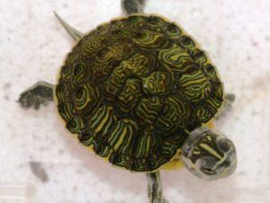 キバラガメ(幼体)