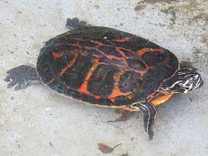 フロリダアカハラガメ001